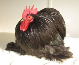 Pekin cockerel